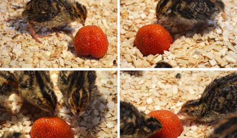 Tooma talu eesti vutid maasikaga